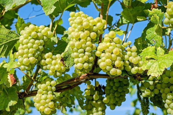 מזונות לדלקת מפרקים ענבים